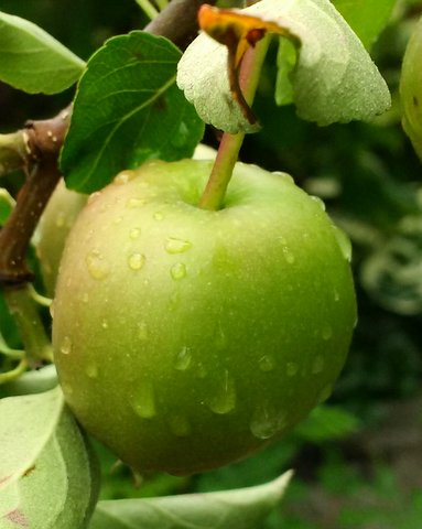 Apple with raindrops